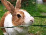 Brown and white dutch rabbit in a garden