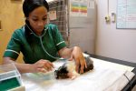 anaesthesia app blog featured image - vet nurse nursing guinea pig