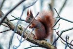 red squirrel awareness week - red squirrel in a tree