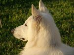 white swiss shepherd dog new kennel club breed
