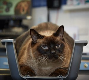 Elvis the cat weighs nearly 10kg and is double the size he should be blog size