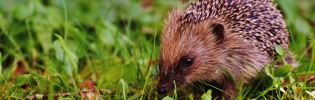Britain's hedgehogs
