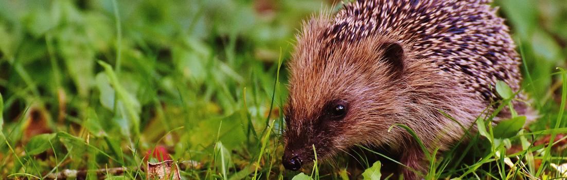Britain's hedgehogs