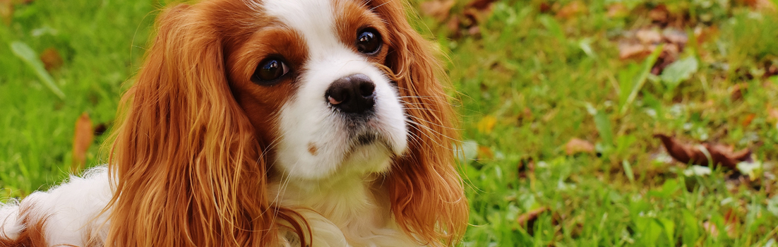 heart scheme for Cavalier King Charles Spaniels