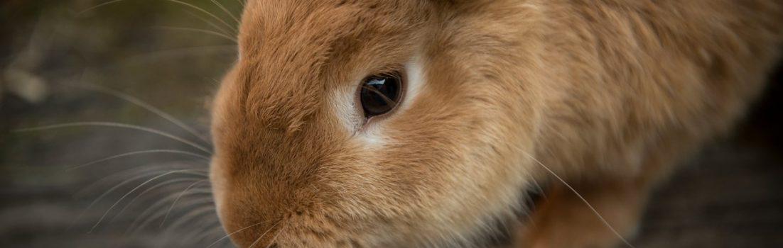 Rabbit nursing CPD courses