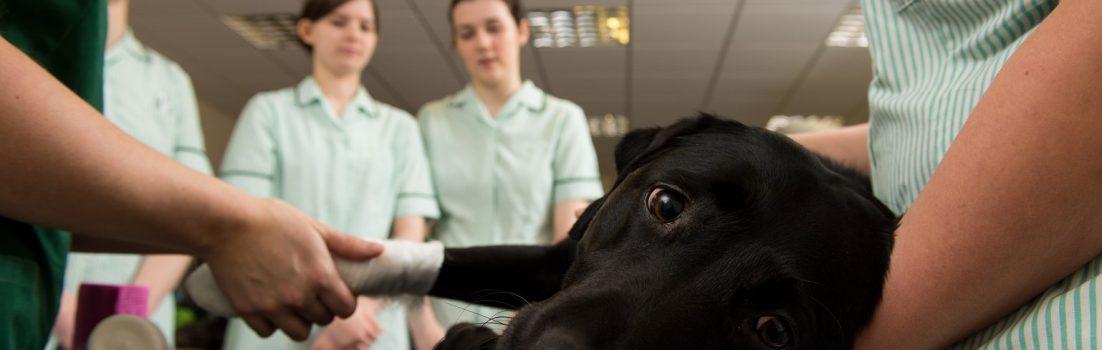 Degree student nurses bandaging dog's foot
