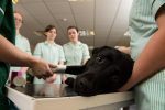 Degree student nurses bandaging dog's foot