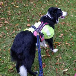 Border Collie in harness and lead ready for parkrun