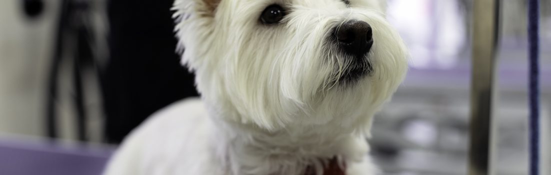 West highland white terrier grooming seminar image
