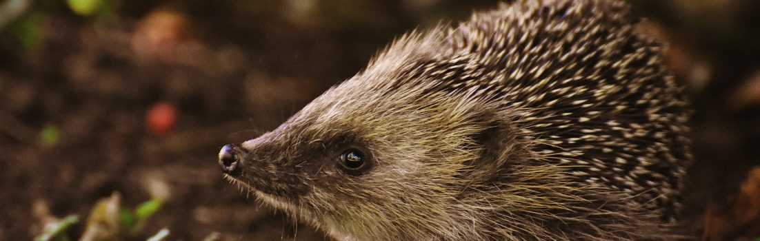hedgehog awareness week blog featured image